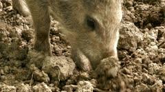 Wild hog piglet in bavaria germany Stock Footage