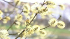 Willow, close-up Stock Footage