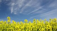 Stock Video Footage of Rapeseed Fiel din the Wind