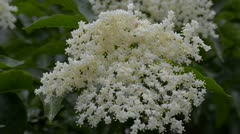 Elder flower blossoms on wind and rain Stock Footage