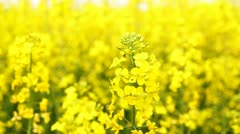 Young Woman kissing Canola Stock Footage