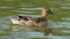 Female Mallard Duck on Water Stock Footage