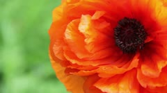 Spring Poppy Stock Footage
