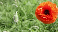 Orange Poppy Stock Footage