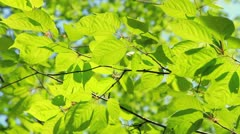 Green leaves. Stock Footage
