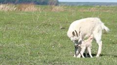 Just born little goat Stock Footage