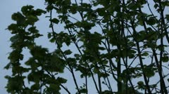 Branches And Leaves at Blue Hour pt2 (close) - stock footage