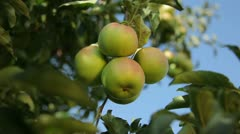 The branch with ripe apples Stock Footage
