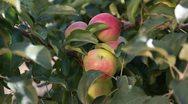 Ripe apples Stock Footage