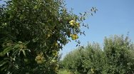 Fruits ripen on the tree Stock Footage