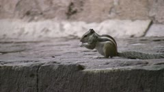 Squirrel eating and running in Indian temple Stock Footage