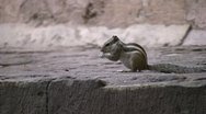 Stock Video Footage of Squirrel eating and running in Indian temple