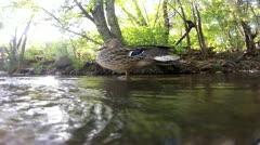 Duck In Oak Creek- Sedona Stock Footage
