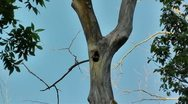 Amid Nature - Pair of Curious Pileated Woodpecker Chicks Stock Footage