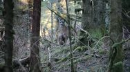 Stock Video Footage of Deer in the woods