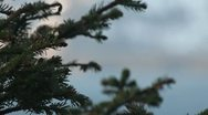 Stock Video Footage of Fir-tree