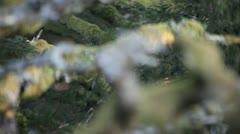 Fir-tree - stock footage