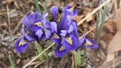 Dainty spring iris blossom Stock Footage