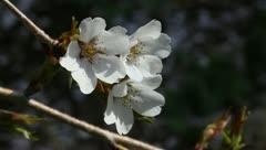 Three cherry blossoms Stock Footage