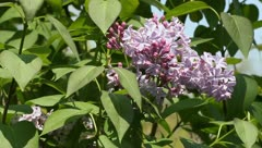 Lilac bush Stock Footage