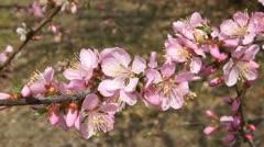 Spring Flowering Branch (Armeniaca mandshurica) Stock Footage