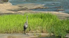 Heron on river rock Stock Footage