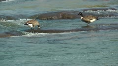 Two canadian geese searching for food Stock Footage