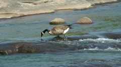 Fishing canadian goose Stock Footage