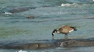 Stock Video Footage of River goose searching for food
