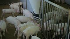 feeding pigs - stock footage
