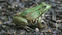 Green Frog in the Sun Stock Footage