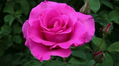 Beautiful pink garden rose macro Stock Footage