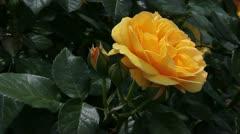 Yellow garden rose Stock Footage