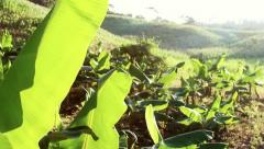 Through the Banana Leaves - stock footage