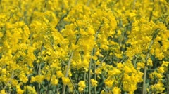 Rapeseed flowers - stock footage
