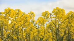 Blooming canola flowers on a field Stock Footage