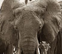 elephant (loxodonta africana) in tarangire national park, tanzania - stock photo