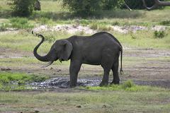 Stock Photo of elephant (loxodonta africana) in tarangire national park, tanzania