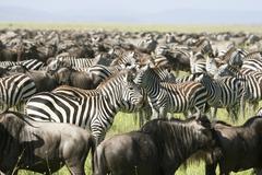 Zebra (equus burchelli) between migration of the wildebeest in serengeti nati Stock Photos