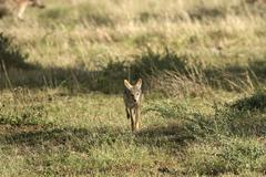 black-backed jackal (canis mesomelas) in serengeti national park, tanzania - stock photo