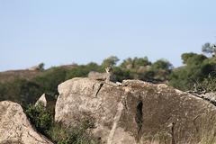 Gepardi (acinonyx jubatus) vuonna Serengetin kansallispuisto, Tansania Kuvituskuvat