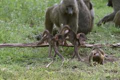 baboons (papio anubis) in lake manyara national park, tanzania - stock photo