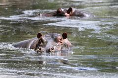 Stock Photo of hippos in a pool