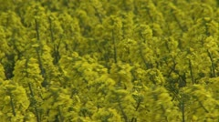 Farmland with blooming Canola, Campestris L during Spring in Sweden Stock Footage
