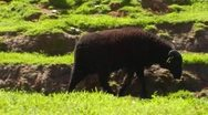 Stock Video Footage of Black Sheep Walking On Verdant Green Hillside