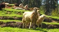 Stock Video Footage of Curious Sheep Grazing On Green Hillside