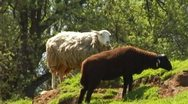 Stock Video Footage of White Sheep Brown Sheep Grazing On Green Hillside