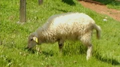 White Sheep Grazing In Green Pasture Stock Footage