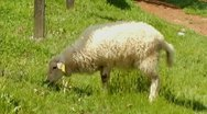 Stock Video Footage of White Sheep Grazing In Green Pasture