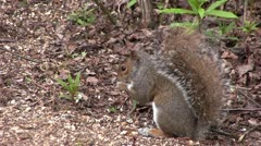 Grey squirrel scavenging for food Stock Footage